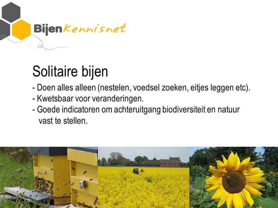 Solitaire bijen - Doen alles alleen (nestelen, voedsel zoeken, eitjes leggen etc).