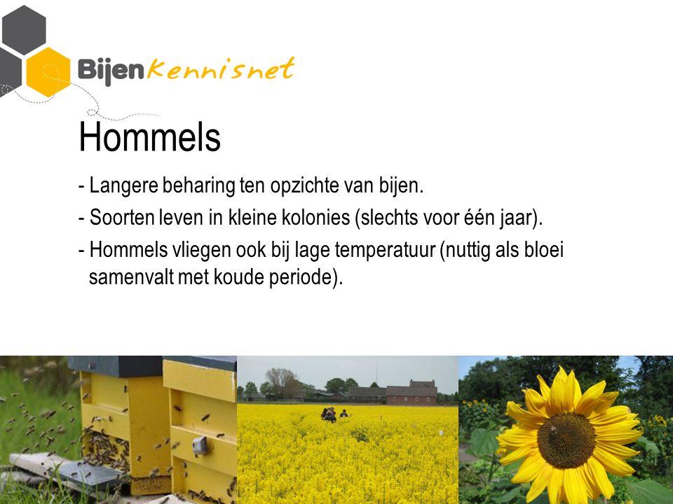 Hommels - Langere beharing ten opzichte van bijen.